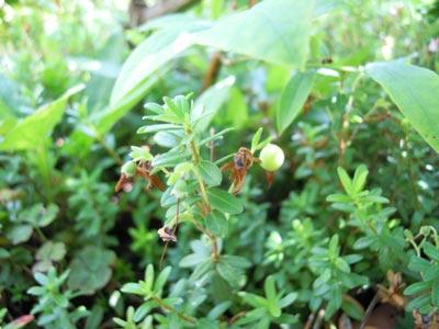 クランベリー、花から実へ。_e0097534_14514717.jpg