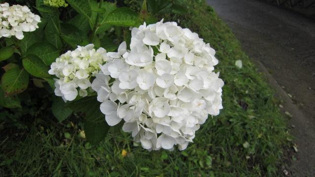 白いアジサイも、きれい。_f0173885_15111125.jpg
