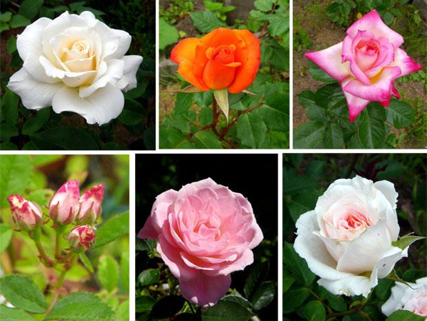 バラやクレマチス、今咲いている花をちょこっと♪_a0136293_17195477.jpg