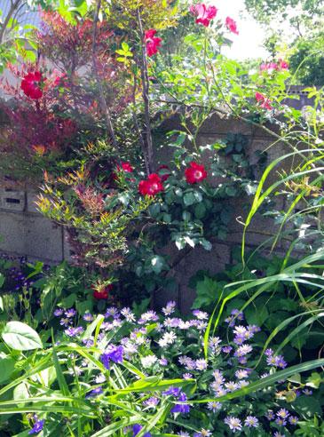 バラやクレマチス、今咲いている花をちょこっと♪_a0136293_17215775.jpg