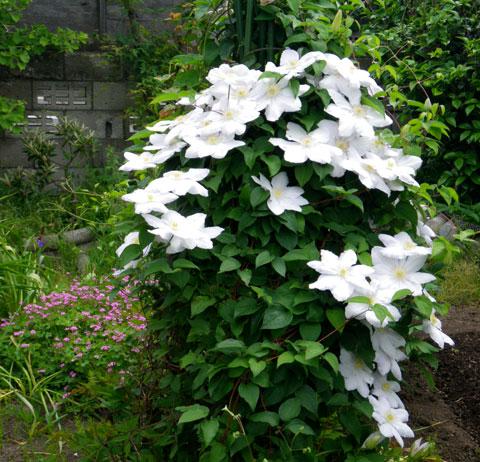 バラやクレマチス、今咲いている花をちょこっと♪_a0136293_17244487.jpg
