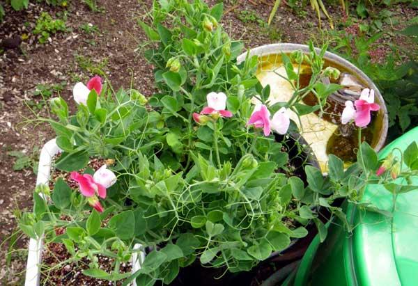バラやクレマチス、今咲いている花をちょこっと♪_a0136293_17303581.jpg