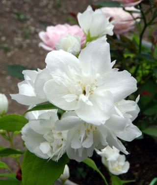 バラやクレマチス、今咲いている花をちょこっと♪_a0136293_17324662.jpg
