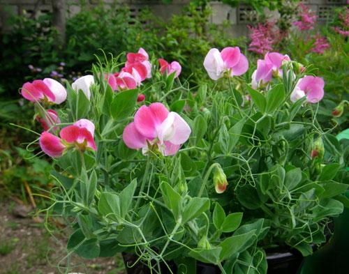種から育って、楽しみがいっぱい♪_a0136293_18404552.jpg