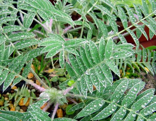 雨の朝 山野草と雀の餌台など♪_a0136293_16222234.jpg