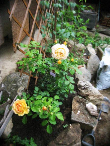 ナチュラルなつるバラの庭作り_d0077603_751858.jpg