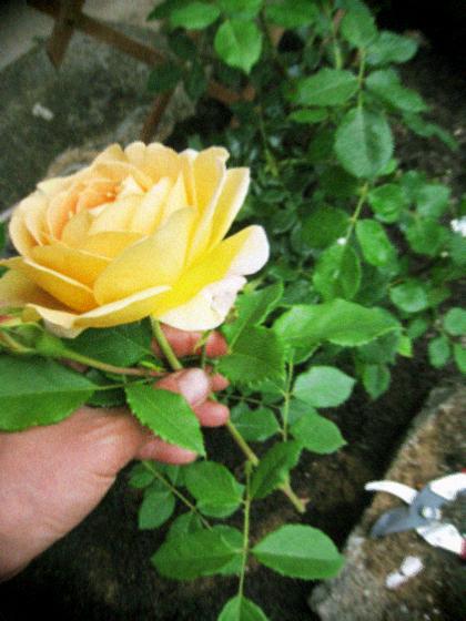 ナチュラルなつるバラの庭作り_d0077603_76305.jpg