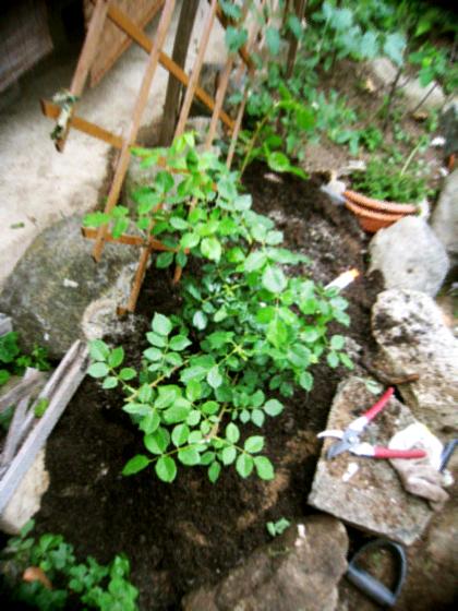 ナチュラルなつるバラの庭作り_d0077603_765016.jpg