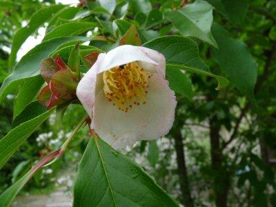 シャラ(沙羅)の花が咲きました。_f0019247_1948862.jpg
