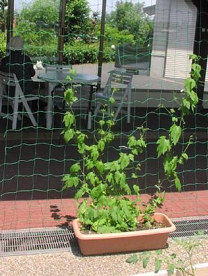 夏の花壇と緑のカーテン_c0141652_1659346.jpg