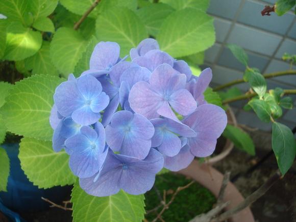 Flower of June: 6月の花、あじさい_a0186568_11224163.jpg