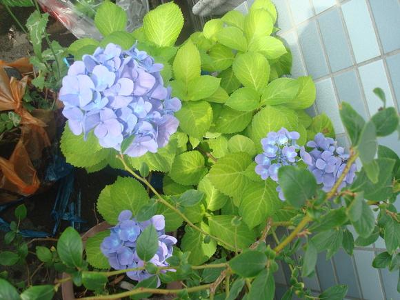 Flower of June: 6月の花、あじさい_a0186568_11225644.jpg