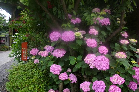 Flower of June: 6月の花、あじさい_a0186568_11382483.jpg