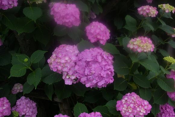 Flower of June: 6月の花、あじさい_a0186568_1138788.jpg