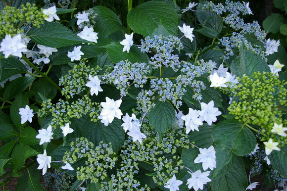 Flower of June: 6月の花、あじさい_a0186568_11433259.jpg