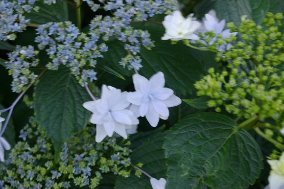 Flower of June: 6月の花、あじさい_a0186568_11441399.jpg