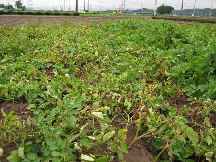 もうすぐジャガイモを収穫しないと_d0225575_23422694.jpg