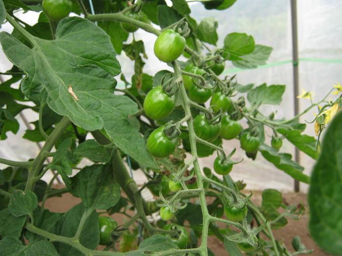 トマトは順調 Ⅱ_d0225575_23581376.jpg