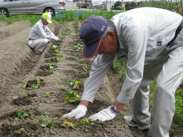 秋にさつま芋の収穫祭が楽しみだよ!_a0213879_1224065.jpg