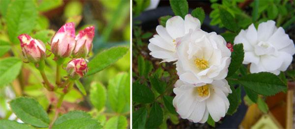 つるバラ(開花大株)の移植 2009~今年の開花へ♪_a0136293_1645937.jpg