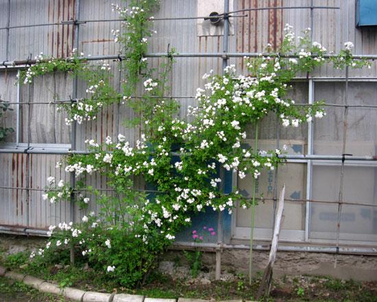 つるバラ(開花大株)の移植 2009~今年の開花へ♪_a0136293_16541491.jpg