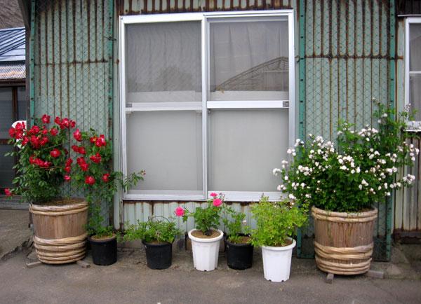 つるバラ(開花大株)の移植 2009~今年の開花へ♪_a0136293_1703654.jpg