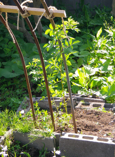 つるバラ(開花大株)の移植 2009~今年の開花へ♪_a0136293_1791989.jpg