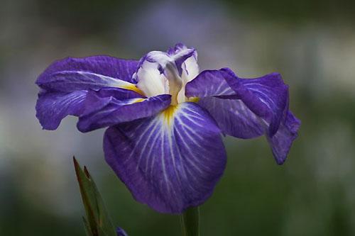 花菖蒲を見て来ました。_f0030085_17371038.jpg