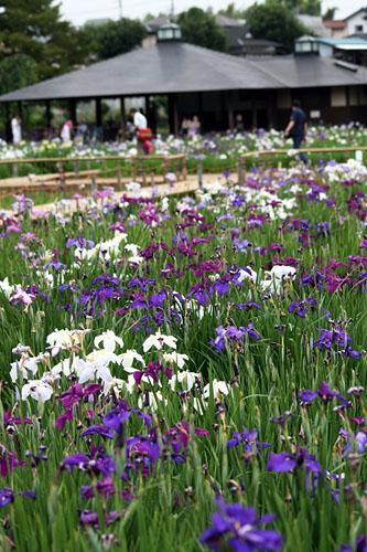 花菖蒲を見て来ました。_f0030085_17395780.jpg