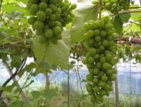 葡萄の粒の間引き作業に追われてます。_f0018099_5493625.jpg