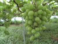 葡萄の粒の間引き作業に追われてます。_f0018099_5495478.jpg