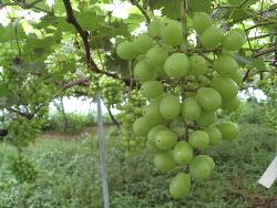 葡萄の粒の間引き作業に追われてます。_f0018099_5582553.jpg