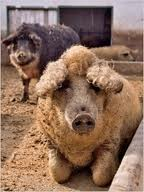 Fur pig, Mangalica_b0195783_10375538.jpg