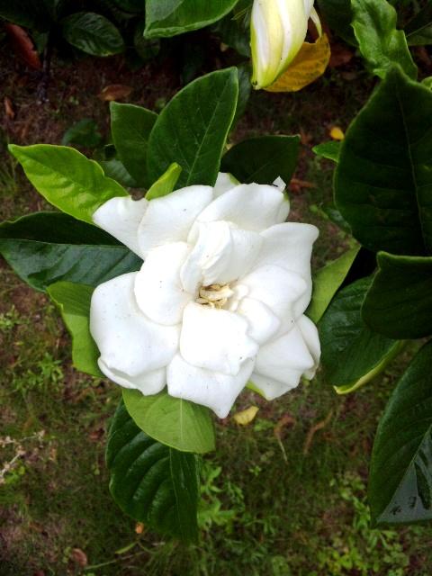 gardenia_c0172504_11485452.jpg