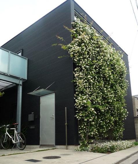 緑のカーテン モッコウバラ編_e0203309_2054570.jpg