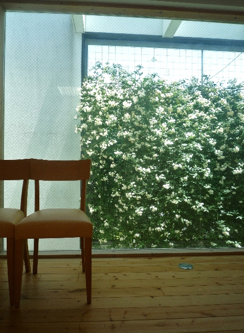 緑のカーテン モッコウバラ編_e0203309_2055985.jpg