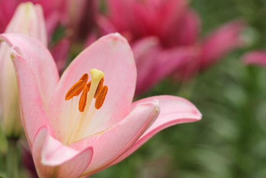 ピンク色の百合を撮る♪_a0189805_5411858.jpg