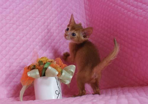 アビシニアン レッド フォーン ブルー 子猫 家族募集_e0033609_191091.jpg
