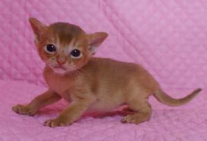 アビシニアン レッド フォーン ブルー 子猫 家族募集_e0033609_19145311.jpg