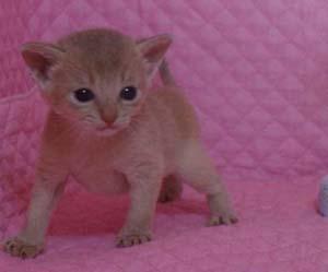 アビシニアン レッド フォーン ブルー 子猫 家族募集_e0033609_192318.jpg