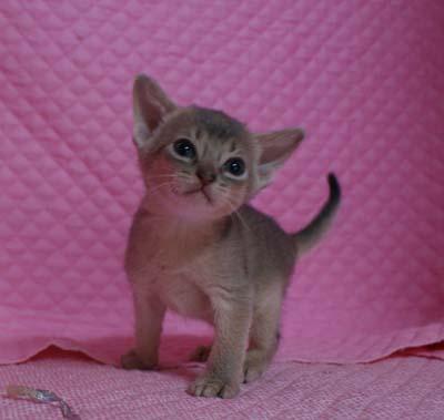 アビシニアン レッド フォーン ブルー 子猫 家族募集_e0033609_19241586.jpg