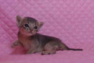 アビシニアン レッド フォーン ブルー 子猫 家族募集_e0033609_1931050.jpg