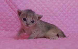 アビシニアン レッド フォーン ブルー 子猫 家族募集_e0033609_19333079.jpg