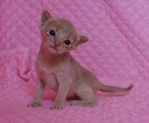 アビシニアン レッド フォーン ブルー 子猫 家族募集_e0033609_19343749.jpg