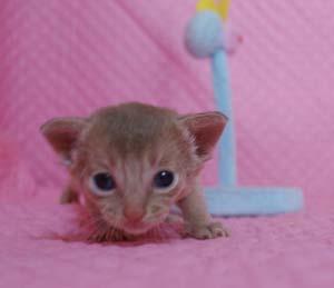 アビシニアン レッド フォーン ブルー 子猫 家族募集_e0033609_19394410.jpg