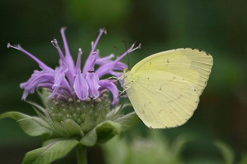 モナルダに蝶たちがいっぱい_f0030085_21111290.jpg