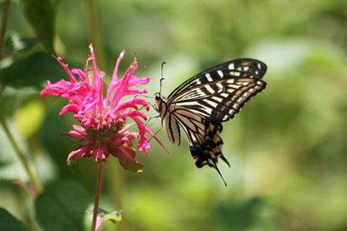 モナルダに蝶たちがいっぱい_f0030085_21113233.jpg