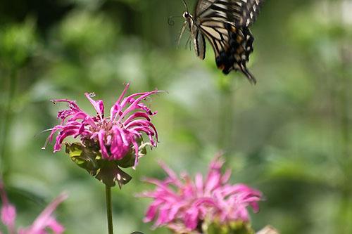 モナルダに蝶たちがいっぱい_f0030085_21115048.jpg