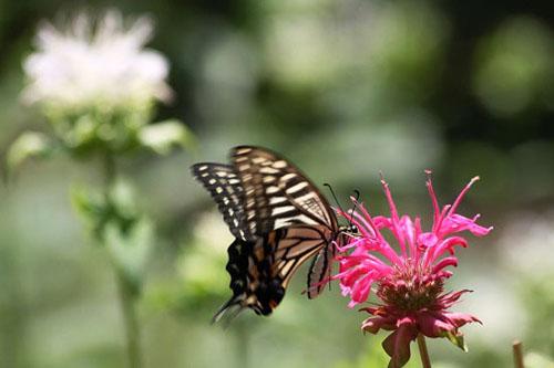 モナルダに蝶たちがいっぱい_f0030085_21122135.jpg