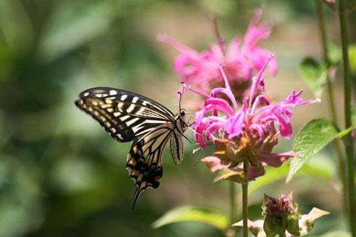 モナルダに蝶たちがいっぱい_f0030085_2112634.jpg